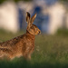 Another Hare encounter.