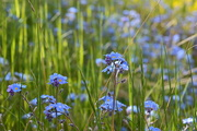 29th May 2020 - Them forget-me-nots