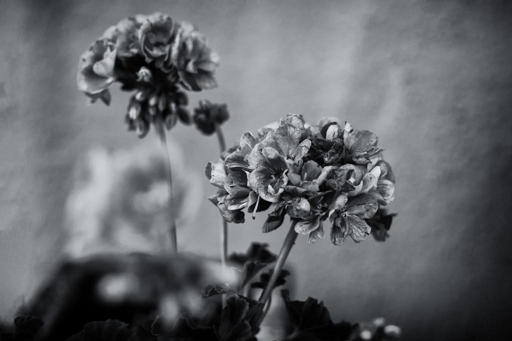 Geranium by jborrases