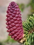 25th May 2020 - Pink pinecone?
