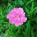 Peony 'Vivid Rose