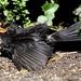 SUNNING BLACKBIRD