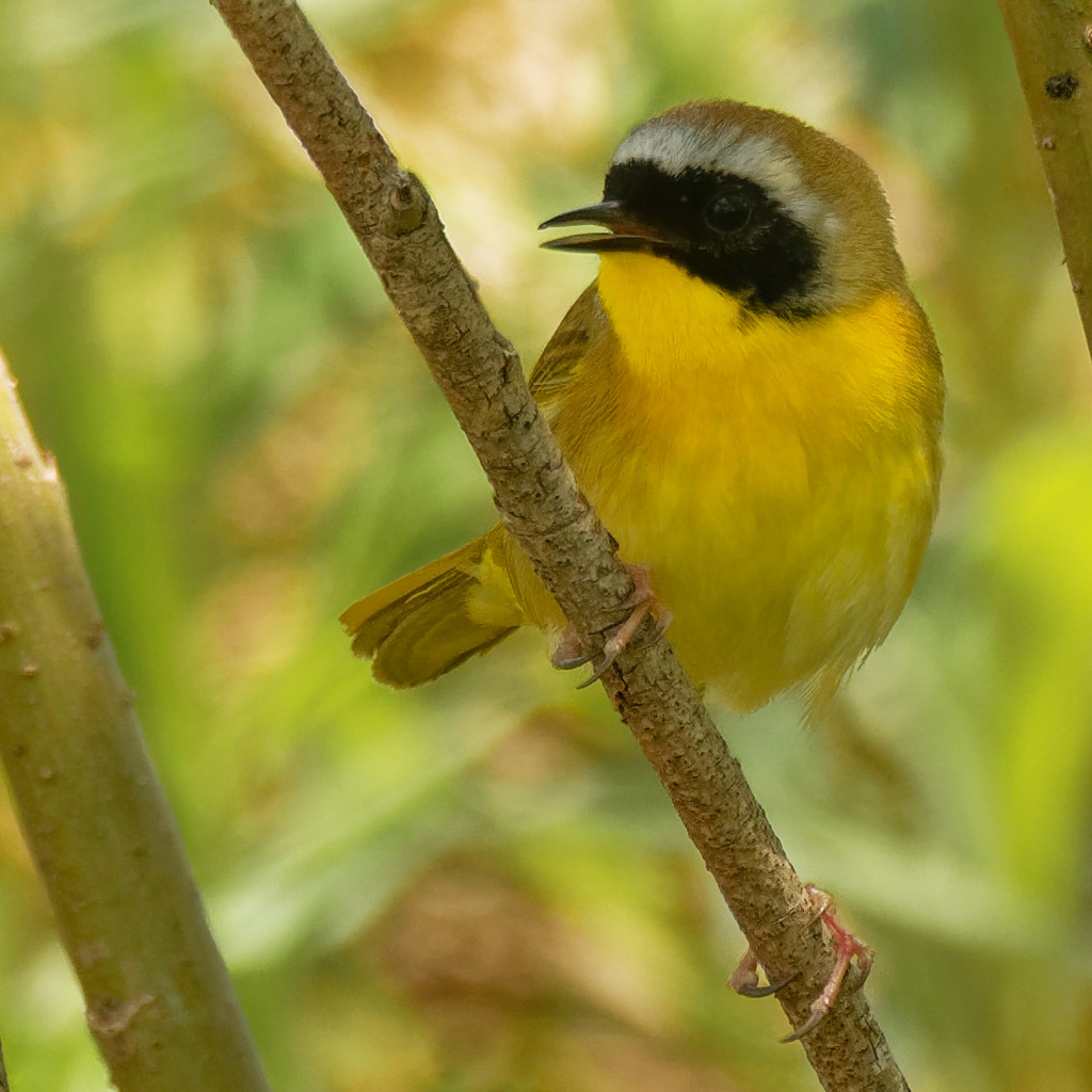 common yellowthroat  by rminer