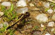 29th May 2020 - dot-tailed whiteface dragonfly