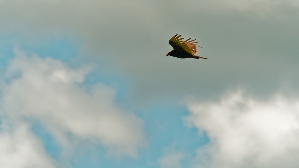 turkey vulture in the clouds by rminer