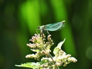 29th May 2020 - Female Banded Demoiselle