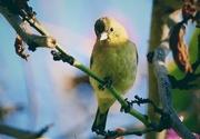 29th May 2020 - Yellow Bird