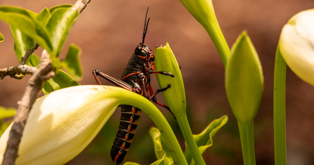 Grasshopper in the Lilys! by rickster549