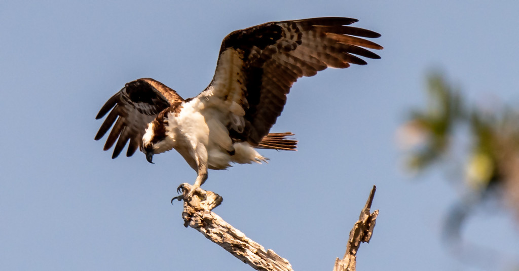 Osprey Dad, Getting Ready for Take-off! by rickster549