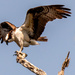Osprey Dad, Getting Ready for Take-off!