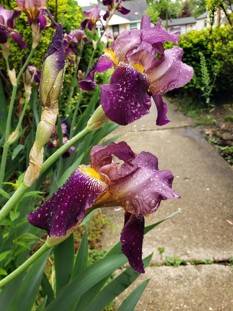 Iris by lilhippiemama
