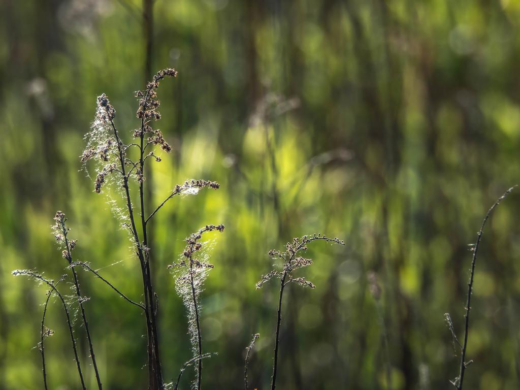 Poplar pollination time by haskar
