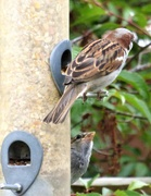 30th May 2020 - Two little Sparrows , - half and half