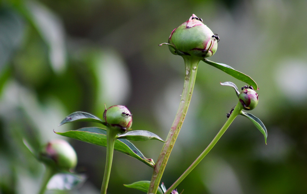 Peony buds by mittens