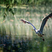 Heron in flight by stevejacob
