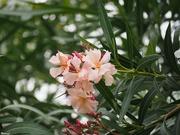 30th May 2020 - Oleander flowers