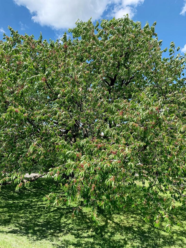Giant cherry tree.  by cocobella
