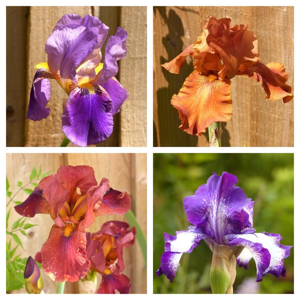 Iris by susiemc