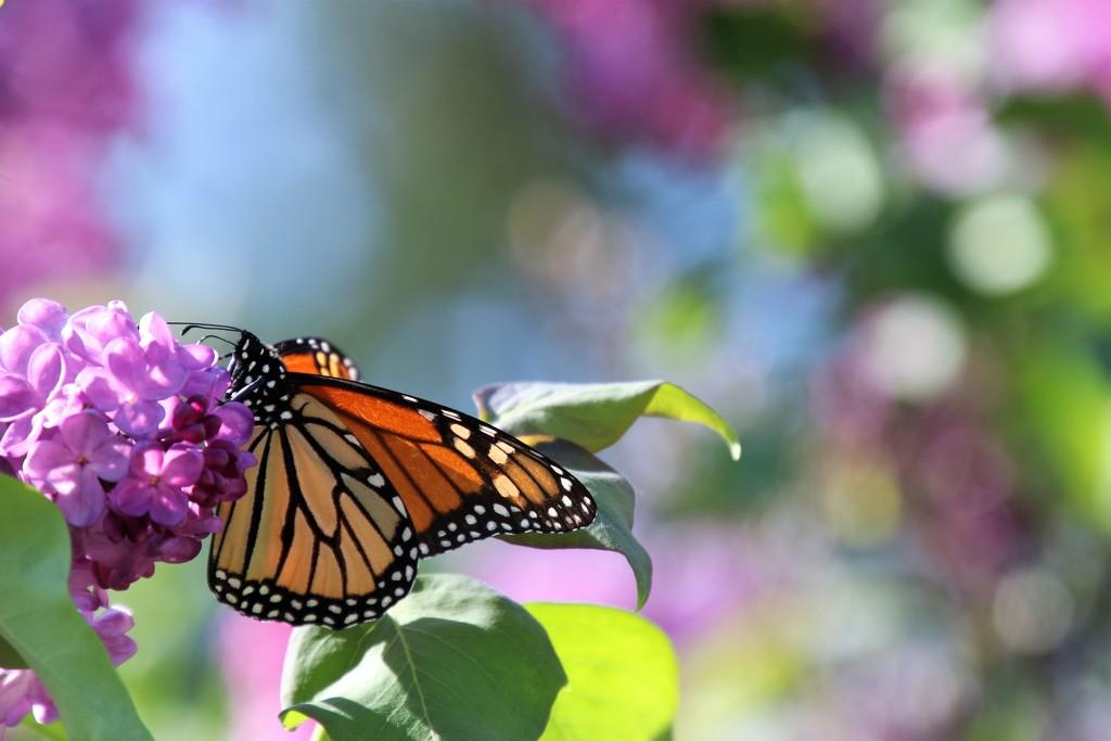 May Monarch by edorreandresen