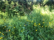 30th May 2020 - Summer evening hedgerows