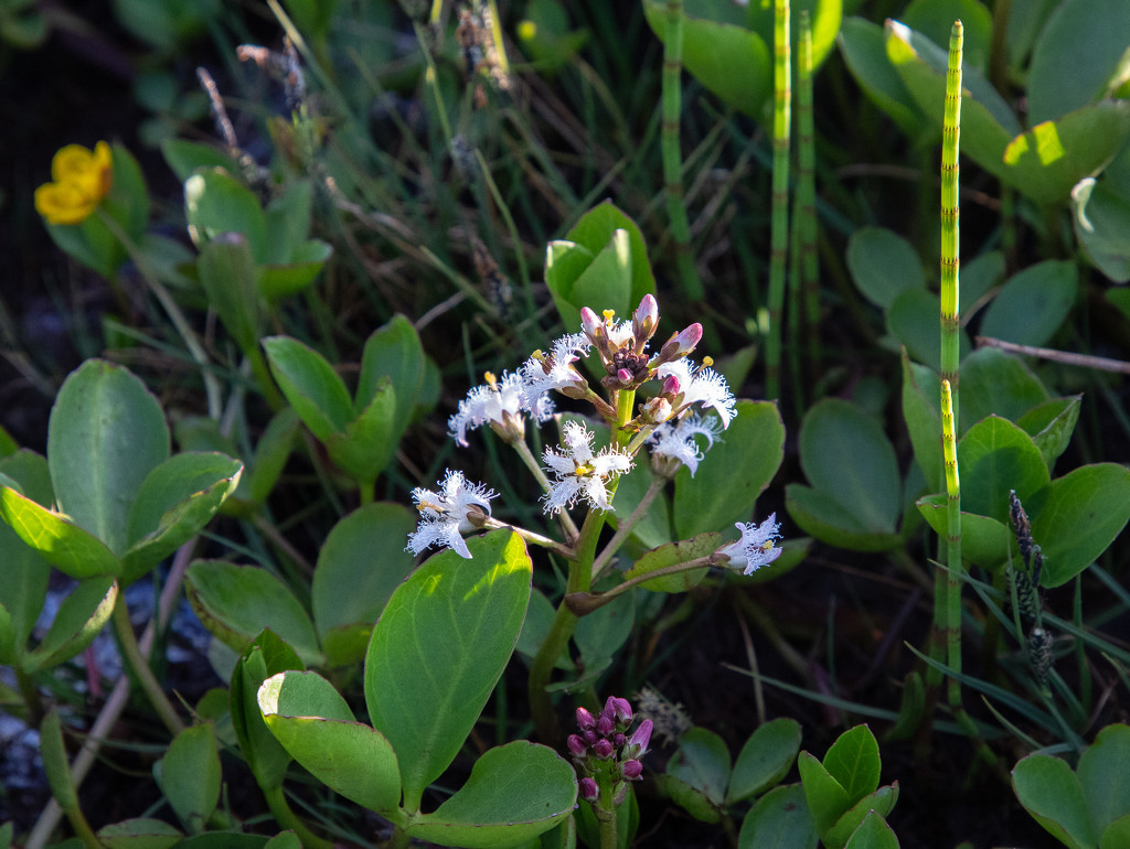 Bogbean by lifeat60degrees