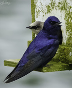 30th May 2020 - Purple Martins Cozying Up Before Babies