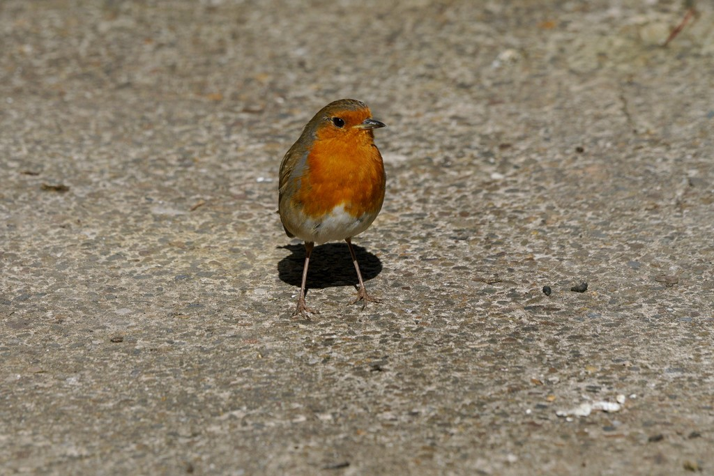 ROBINS MAY - DAY 29 by markp
