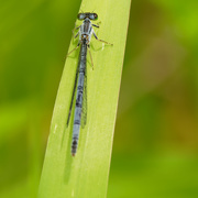30th May 2020 - Eastern forktail damselfly