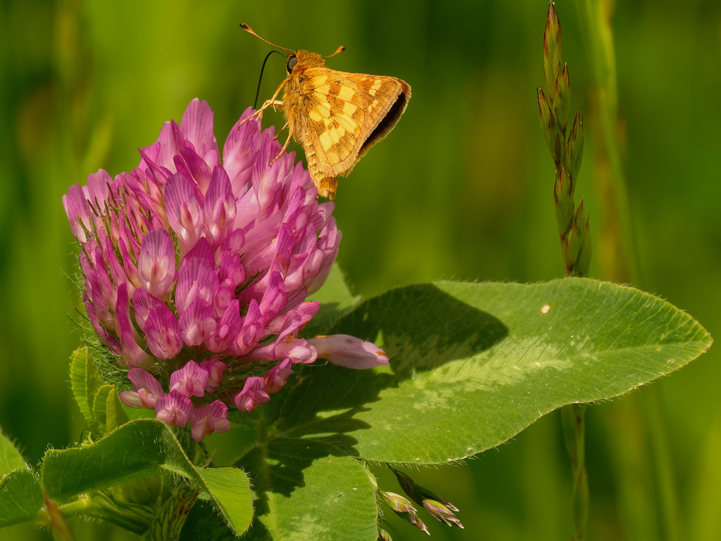 long dash skipper butterfly on clover by rminer