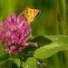 long dash skipper butterfly on clover