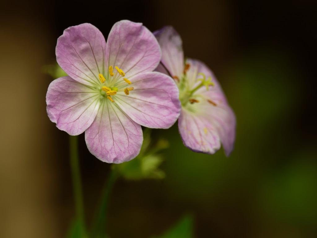 wild geranium by rminer