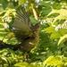 Exuberant Blackbird