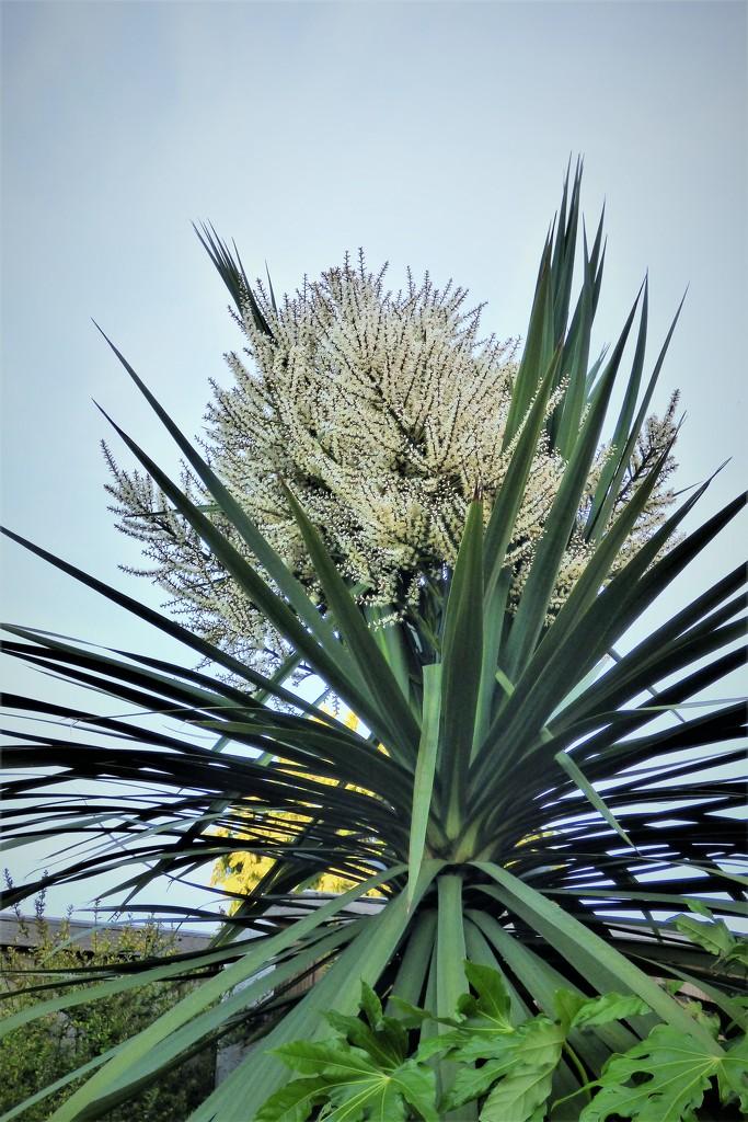 Cordyline Australis  by beryl