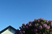 30th May 2020 - 'Moonlit' lilacs