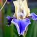 Two-Tone Iris