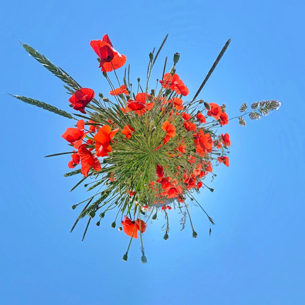 Planet poppies.  by cocobella