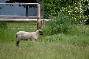 30th May 2020 - Spring Lamb