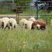 Our Neighbor's Sheep