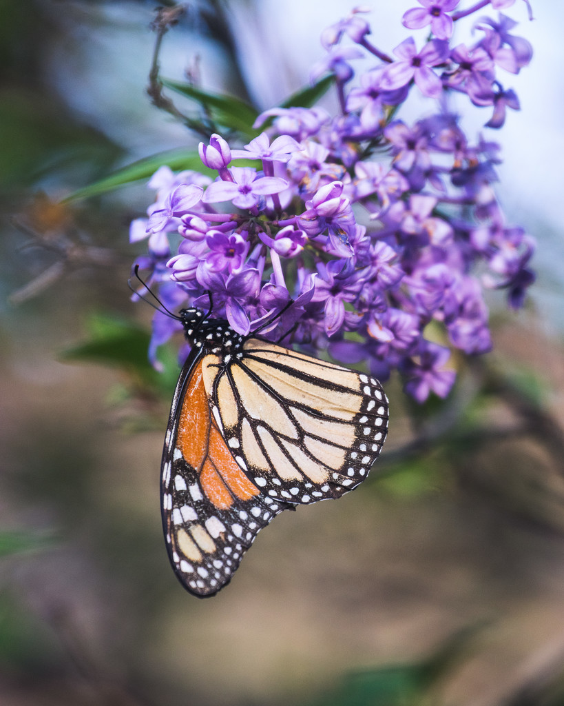 monarch by aecasey