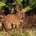 Bunny Rabbit in the Backyard!