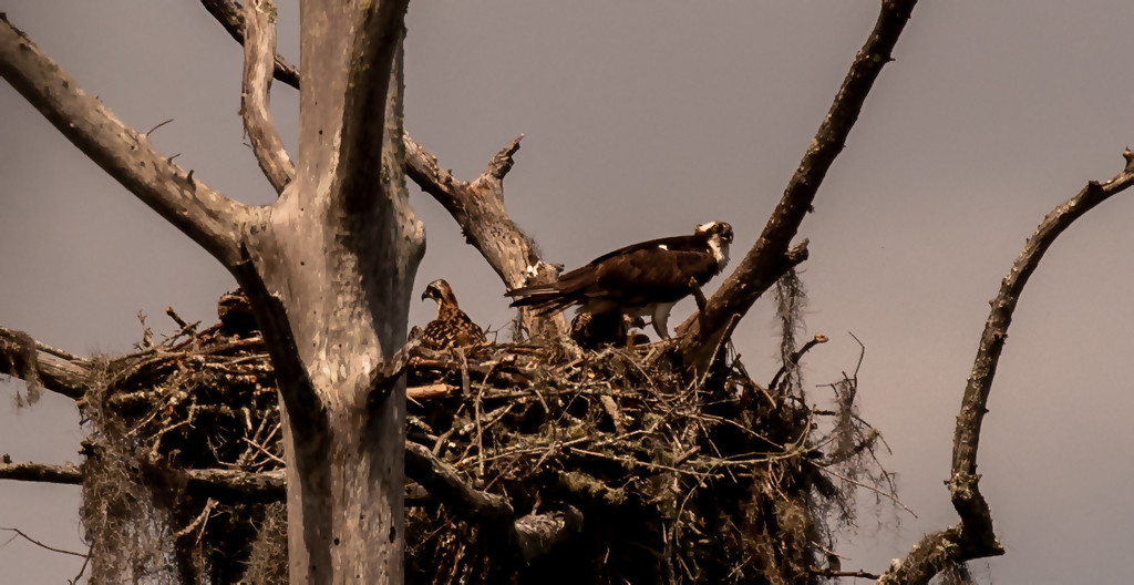 One of My Other Osprey Nest! by rickster549