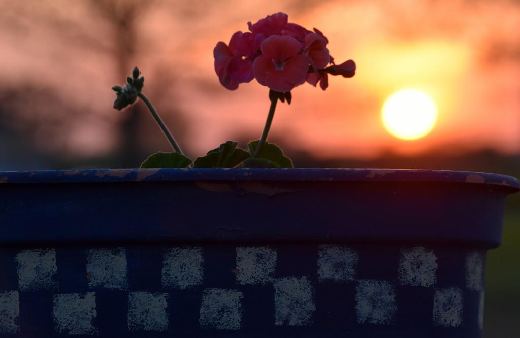 Geranium at Sunset by genealogygenie