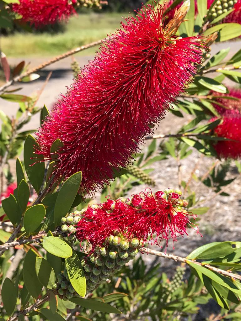 Red banksia by golftragic