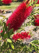 31st May 2020 - Red banksia