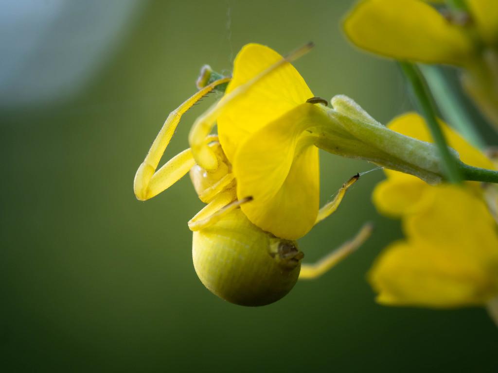 Flower spider by haskar