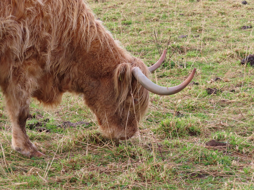 Highland Cow by loey5150