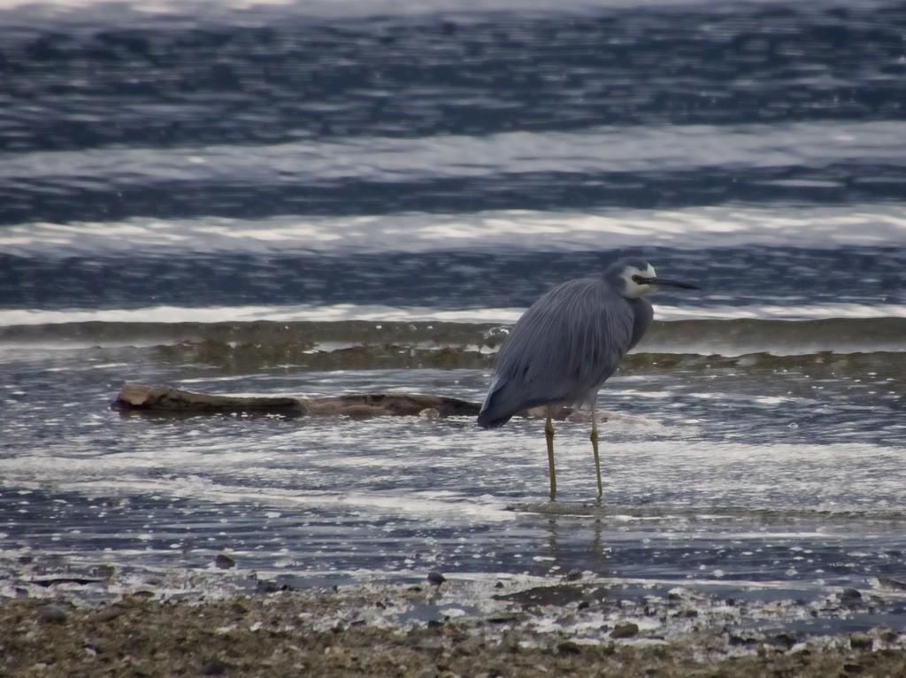 Grey Heron by kiwinanna