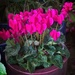 Cyclamens on sale