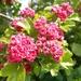 Scarlet Hawthorn