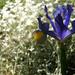 30th May Iris